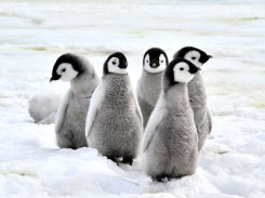 Penguins-Small